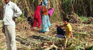 गन्ना किसान बदहाल, सरकार उदासीन